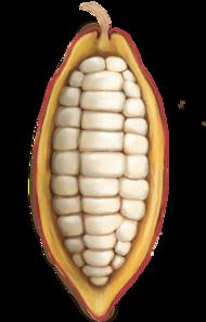 Mazorca de cacao - UMAU Cacao
